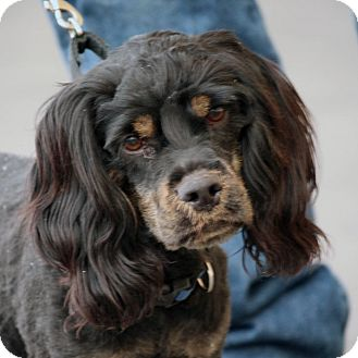 Spaniel (Unknown Type) Mix Dog for adoption in Palmdale, California - Marc