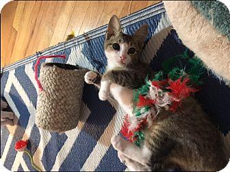 Domestic Shorthair Kitten for adoption in Whitehall, Pennsylvania - Skeeter