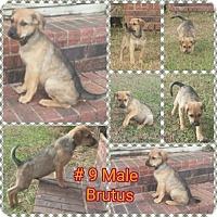 Adopt A Pet :: Brutus meet me 12/16 - Manchester, CT