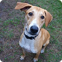Adopt A Pet :: Buddy - Myakka City, FL