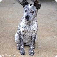 Adopt A Pet :: Cecilia - Bedford, VA