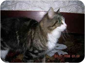 Domestic Mediumhair Cat for adoption in Union, South Carolina - Mimi