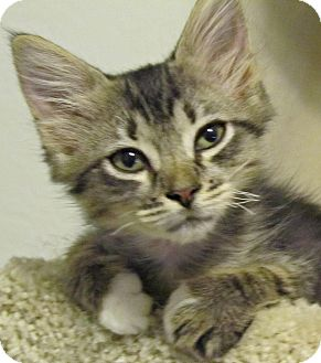 Domestic Shorthair Kitten for adoption in Seminole, Florida - Willow