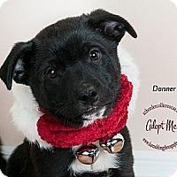 Adopt A Pet :: Donner - Tempe, AZ