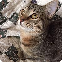Adopt A Pet :: AF-Meg - Devon, PA