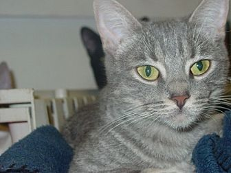 Domestic Shorthair Cat for adoption in Midway City, California - Cris
