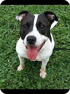 Pit Bull Terrier Mix Dog for adoption in Woodlyn, Pennsylvania - Shortie