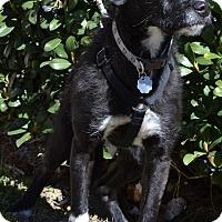 Adopt A Pet :: Jet - Simi Valley, CA