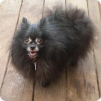 Adopt A Pet :: Critter - conroe, TX