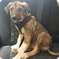 Adopt A Pet :: Seva - Brooklyn, NY