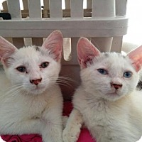 Adopt A Pet :: Millie and Minnie Twinset - NYC, NY