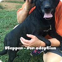 Adopt A Pet :: Stepper - Worcester, MA