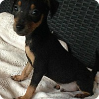 Rat Terrier Mix Puppy for adoption in Hagerstown, Maryland - Samson