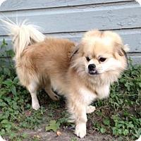 Adopt A Pet :: Mr. 'Bo' Bojangles - Inver Grove, MN
