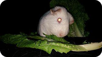 Guinea Pig for adoption in Aurora, Colorado - Casio