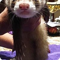 Adopt A Pet :: Loki - Hartford, CT