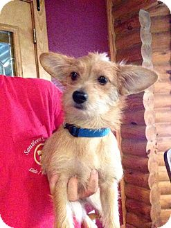 Cairn Terrier/Terrier (Unknown Type, Small) Mix Dog for adoption in Groveland, Florida - Lilly
