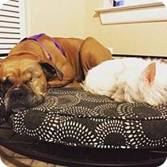 Boxer Dog for adoption in Austin, Texas - Lai Lai