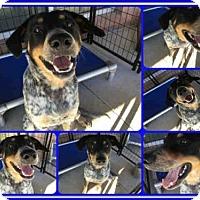 Australian Cattle Dog Mix Dog for adoption in San Antonio, Texas - OZZIE