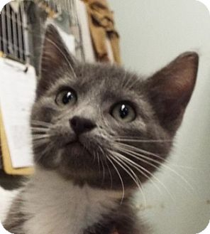 Domestic Shorthair Kitten for adoption in Grants Pass, Oregon - Sonny