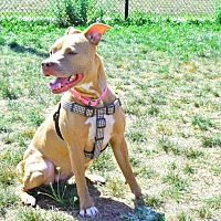Pit Bull Terrier/American Pit Bull Terrier Mix Dog for adoption in Worcester, Massachusetts - Jada