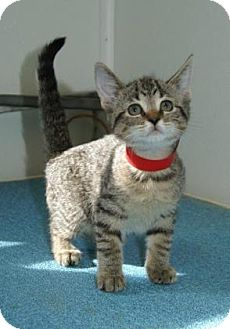 Domestic Shorthair Kitten for adoption in Englewood, Florida - Presto
