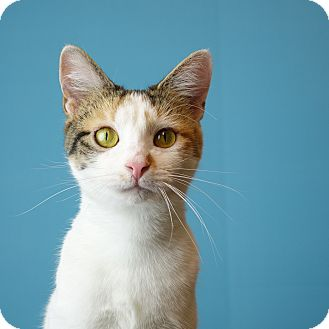 Domestic Shorthair Cat for adoption in Columbia, Illinois - Cobble