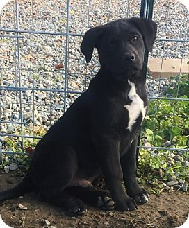 Australian Shepherd/Labrador Retriever Mix Puppy for adoption in Red Bluff, California - Frosted Flakes