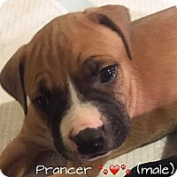 Adopt A Pet :: Prancer - Ronkonkoma, NY