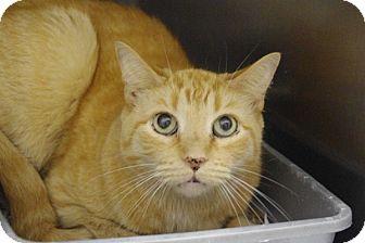 Domestic Shorthair Cat for adoption in Elyria, Ohio - Milo