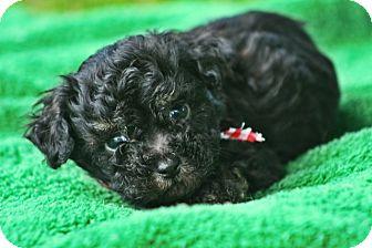 Yorkie, Yorkshire Terrier Mix Puppy for adoption in Glastonbury, Connecticut - Yorkie Puppies