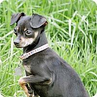 Adopt A Pet :: Shyla - Lynnwood, WA