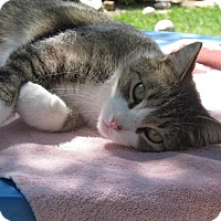 Adopt A Pet :: Big Boy - Sacramento, CA