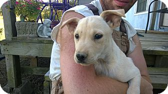 Labrador Retriever/Shepherd (Unknown Type) Mix Dog for adoption in Allentown, Pennsylvania - Chanel