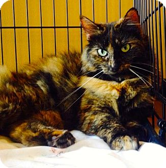 Domestic Longhair Cat for adoption in Arcadia, California - Milly