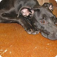 Adopt A Pet :: Sierra - Charlemont, MA