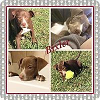 Adopt A Pet :: Bixler IN CT - East Hartford, CT