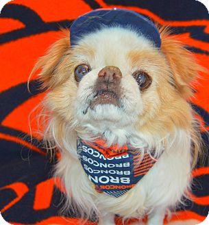 Japanese Chin Dog for adoption in Aurora, Colorado - Jake