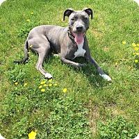American Pit Bull Terrier Dog for adoption in Philadelphia, Pennsylvania - Penny