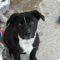 Adopt A Pet :: Dakota - Spring, TX