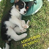 Adopt A Pet :: PEARL - Winnipeg, MB