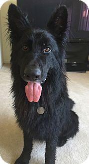 German Shepherd Dog Dog for adoption in Sacramento, California - Murphy