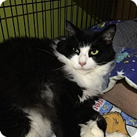 Domestic Longhair Cat for adoption in Blasdell, New York - Lacey
