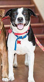Border Collie/Australian Shepherd Mix Dog for adoption in Los Angeles, California - Lois