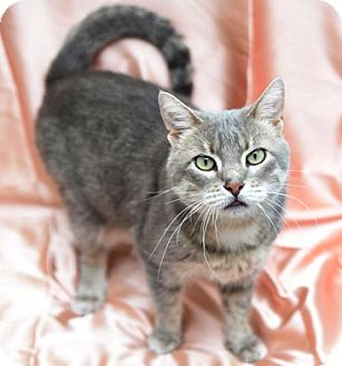 Domestic Shorthair Cat for adoption in Chattanooga, Tennessee - Rhiannon