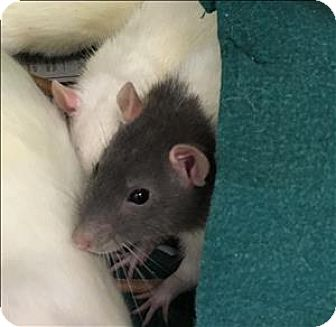 Rat for adoption in Madison, New Jersey - Marty