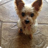 Adopt A Pet :: Lily - North Port, FL
