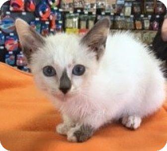 Siamese Kitten for adoption in McKinney, Texas - Simone