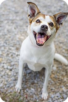 Jack Russell Terrier/Beagle Mix Dog for adoption in Windham, New Hampshire - Muffy (Senior Discount)