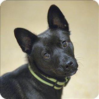 Schipperke/Spitz (Unknown Type, Large) Mix Dog for adoption in Santa Rosa, California - Walker